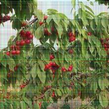 目前新品种樱桃苗目前新品种樱桃苗初种植易遭遇的病虫害图片