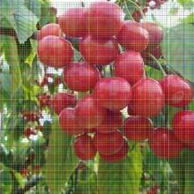 兰丁2号樱桃树苗兰丁2号樱桃树苗新价格图片
