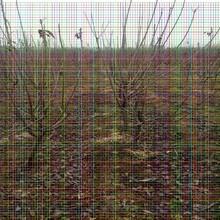 含香樱桃树苗含香樱桃树苗2019年种植流行品种图片