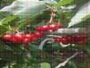 6年樱桃树苗一亩产多少斤