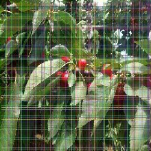 8公分樱桃树苗8公分樱桃树苗选购时注意事项图片