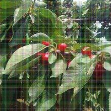 车厘子樱桃树苗贮藏果实时需要的注意点图片