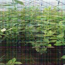 拉宾斯樱桃树苗拉宾斯樱桃树苗免费技术知道种植樱桃树苗图片