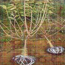 目前新品种樱桃苗目前新品种樱桃苗幼苗初种植修剪技巧图片