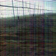 俄罗斯八号樱桃树苗俄罗斯八号樱桃树苗打包运输规范,成活率高图片