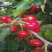 矮化樱桃树苗矮化樱桃树苗建园最佳种植密度图片