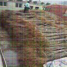 红手球樱桃树苗红手球樱桃树苗种植园建园标准规范图片