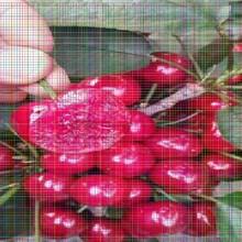 新品种樱桃苗新品种樱桃苗选购注意事项图片