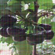 美国1号樱桃树苗美国1号樱桃树苗大型种植基地,价实货佳图片