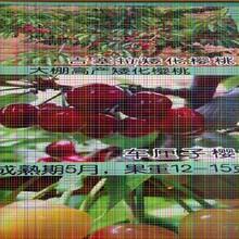 红灯樱桃树苗红灯樱桃树苗最常用的树形图片