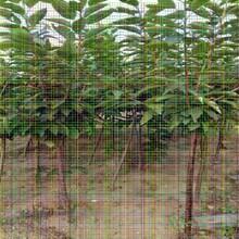 8公分樱桃树苗8公分樱桃树苗如何预防病虫害图片