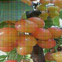 俄羅斯八號櫻桃樹苗俄羅斯八號櫻桃樹苗如何提高坐果率
