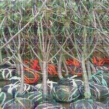 矮化樱桃树苗正宗育苗基地,欢迎实地考察图片