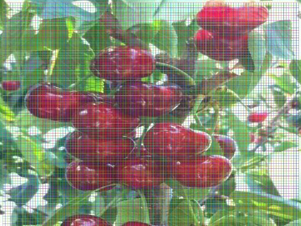 1公分樱桃树苗1公分樱桃树苗樱桃树苗什么时间种