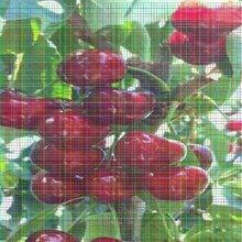 红手球樱桃树苗栽植密度图片