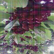 新品种樱桃苗新品种樱桃苗樱桃树苗怎么修剪图片