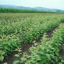 吉塞拉7号樱桃树苗吉塞拉7号樱桃树苗山地种植最适宜品种图片