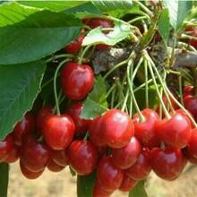 美國櫻桃樹苗美國櫻桃樹苗新價格圖片