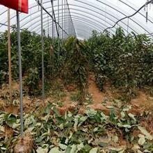6公分樱桃树苗6公分樱桃树苗纯度最高的樱桃树苗厂家图片