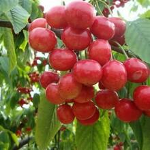 2公分樱桃树苗2公分樱桃树苗一亩地种多少樱桃树苗图片