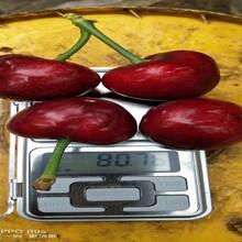 3公分櫻桃樹苗3公分櫻桃樹苗改良土壤圖片