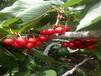 矮化樱桃树苗矮化樱桃树苗厂家直销的樱桃树苗