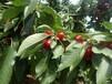 5公分樱桃树苗5公分樱桃树苗最好种的樱桃树苗
