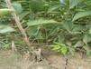 俄罗斯8号樱桃树苗俄罗斯8号樱桃树苗含糖量最高的樱桃品种