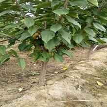 4年櫻桃樹苗4年櫻桃樹苗大棚管理注意事項圖片