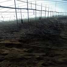 兰丁2号樱桃树苗兰丁2号樱桃树苗目前新品种樱桃树苗图片