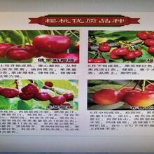 美国一号樱桃树苗美国一号樱桃树苗品种好的树苗图片