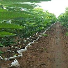 福星樱桃树苗福星樱桃树苗提高亩产的技术规范图片