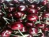 美国樱桃树苗美国樱桃树苗新品种樱桃树苗价格