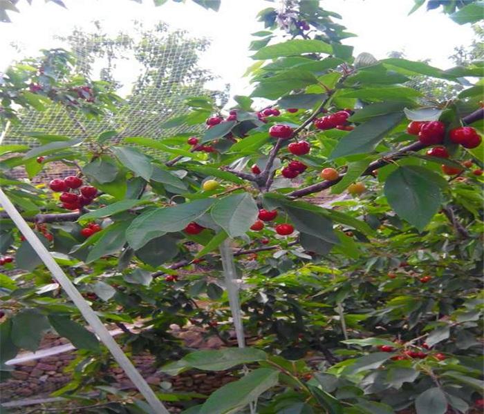 含香櫻桃樹苗,含香櫻桃樹苗當年小苗
