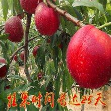 3年生桃樹苗,3年生桃樹苗種苗