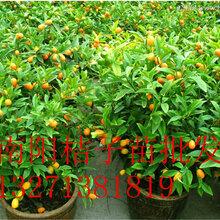 南陽桔子樹苗南陽橘子樹批發桔子樹苗品種
