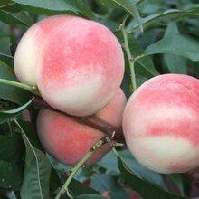广西桃树苗品种,广西桃树苗特点,广西桃树苗价格,广西桃树苗种植技术,广西桃树苗出售,广西桃树苗产量