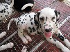 珠海斑點狗價格純種斑點狗多少錢一只
