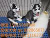廣州周邊哪里有犬舍,廣州去哪里買狗好,哈士奇犬價格多少