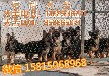 請問在廣州哪里有賣德國牧羊犬賣德國牧羊犬的地方
