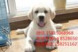 深圳哪里能買到寵物狗深圳哪里有賣拉布拉多犬