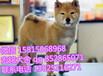 中山什么地方有出售日本柴犬正宗日本柴犬大概多少錢