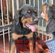 深圳哪里有賣羅威納犬大概要什么價位