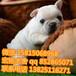 江門哪里有賣奶白色的法國斗牛犬的價格便宜的多少錢一只