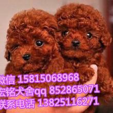 深圳哪有卖狗狗的宠物店深圳哪里可以买到泰迪犬深圳纯种泰迪犬多少