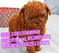 廣州什么地方有賣泰迪熊廣州哪里買貴賓犬貴賓價錢