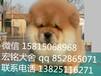 東莞哪里有賣松獅犬(松獅),東莞純種松獅犬價格多少