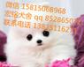 東莞哪里有賣博美犬(博美),東莞純種博美犬價格多少