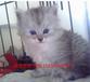 廣州哪里有賣美國短毛貓價格多少純種美短價錢虎斑短毛貓j價格