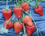河南洛阳田园之春生态园优质红颜草莓种苗基地低价批发